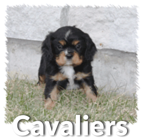 Cavalier Puppy Information